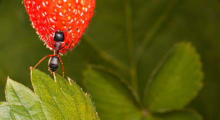 red ant: garden ant holds strawberry