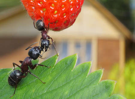 red ant: kissing garden ants and summerhouse at background Stock Photo