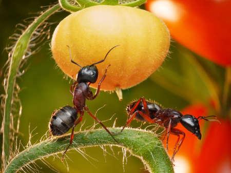 antrey: garden ants checking harvest of tomatos Stock Photo