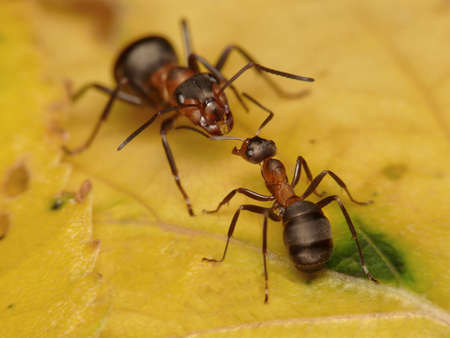 antrey: forest ants, worker and soldier Stock Photo