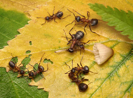 fighting for mushroom, forest ants photo