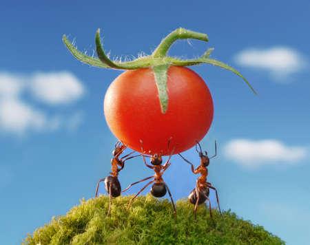 ant: tres hormigas celebración de tomate fresco Foto de archivo