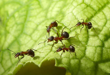 escort of forest ants