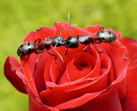 antrey: garden ants kiss on rose