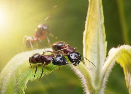 hormiga hoja: las hormigas hablando alto secreto, fantasía