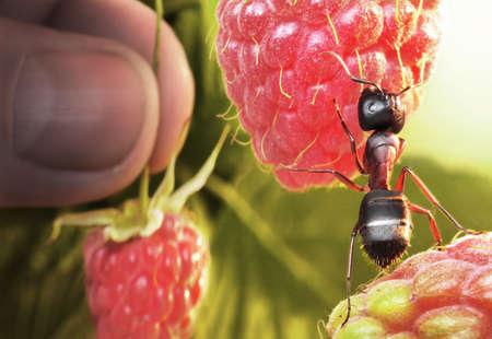 raspberry morning, ant and human take berries Standard-Bild
