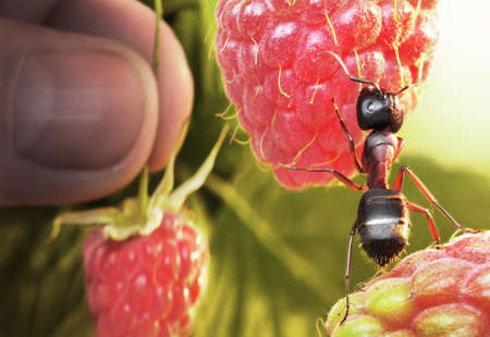 raspberry morning, ant and human take berries Stock Photo - 6995115