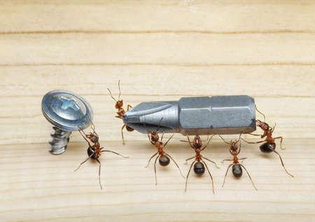 Team von Ameisen führt Schraubenzieher, um auf Holz, Teamwork Schraube