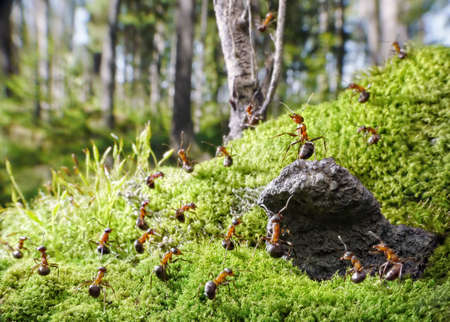 chief of red ants on rock, and his people Stock Photo - 7689803