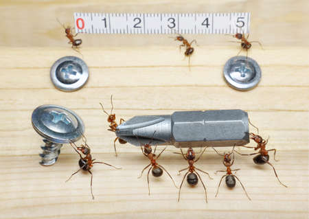 team of ants measures with ruler and carries screwdriver to screw on wood, teamwork Stock Photo