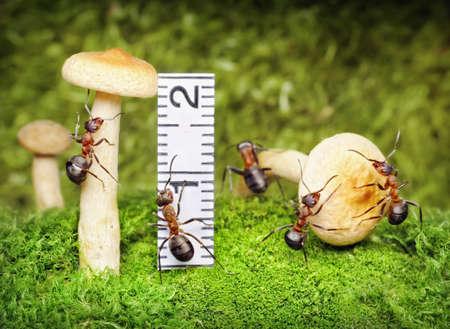 team of ants harvesting and measuring mushrooms - important food photo