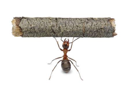 hormiga: hormiga de trabajador mantiene registro de pesado, aislado