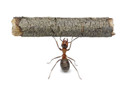 worker ant holding heavy log, isolated