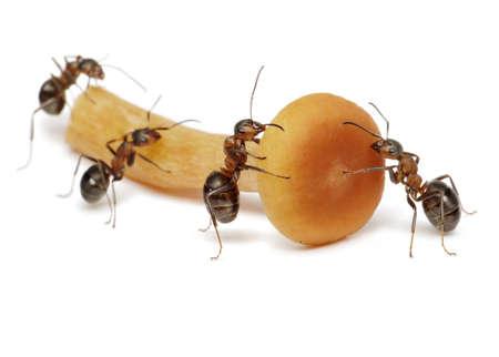 team of ants work with mushroom, teamwork, isolated on white photo