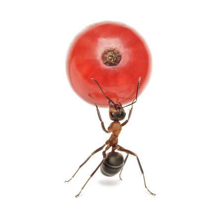 ant holding berry of red currant, isolated