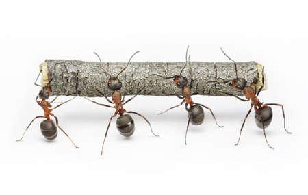 hormiga: equipo de hormigas lleva registro, trabajo en colaboraci�n, trabajo en equipo Foto de archivo