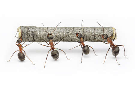 team of ants carries log, work in cooperation,  teamwork Stock Photo
