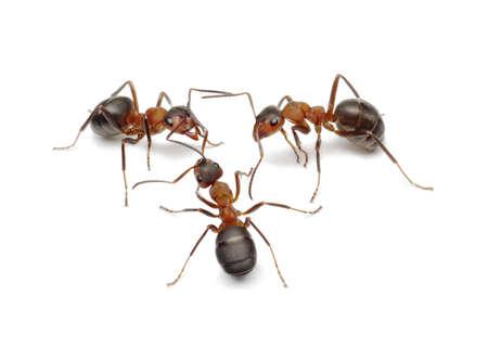 ameisenhaufen: Ameisen erstellen Netzwerks, eine Verbindung mit Antennen Lizenzfreie Bilder
