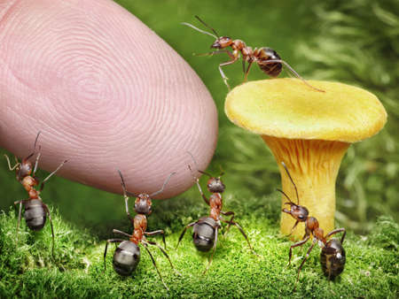 chanterelle: team of ants guarding chanterelle mushroom from human