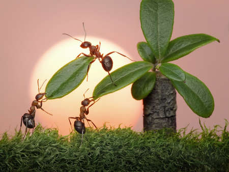red ant: team of ants  cutting leaves of palm on sunset or sunrise, teamwork