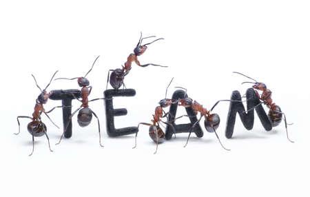 Ameisen bauen Wort Team mit Buchstaben Geschäftsführer von Chef, Teamarbeit