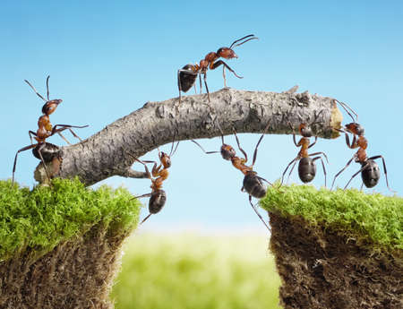 animals together: team of ants constructing bridge with log, teamwork