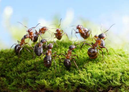 hormiga: equipo de hormigas Formica rufa, la danza de los cazadores