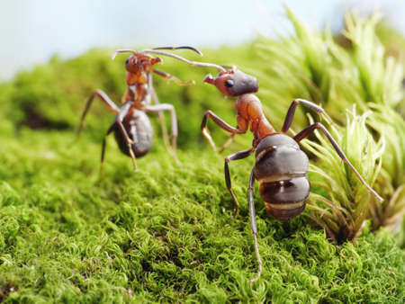 red ant: ants formica rufa, conflict Stock Photo