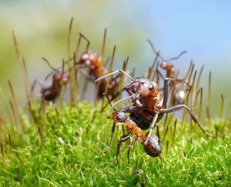 ants formica rufa protect little ones