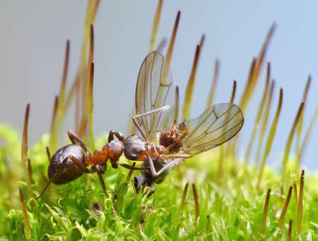 antrey: provider ant formica rufa carry dead fly