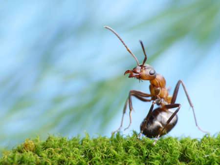 ant formica rufa pays attention Standard-Bild