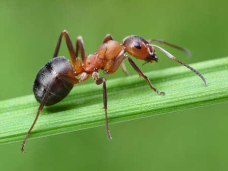 hormiga: hormiga Formica rufa en la hierba verde Foto de archivo