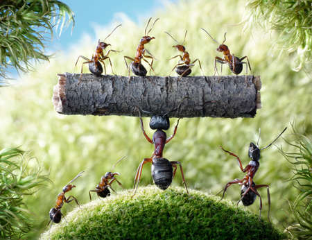mighty ant Camponotus Herculeanus holding log with ants Formica Rufa photo