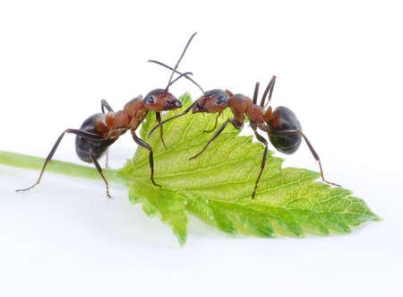 zwei Ameisen und grüne frische Blatt