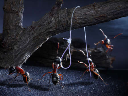 sometimes ants execute traitors, perhaps for loss of native smell, lynch law thriller Stock Photo - 12035619