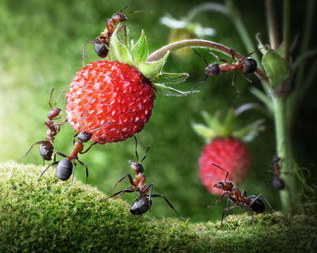 team of ants gathering wild strawberry, agriculture teamwork Foto de archivo