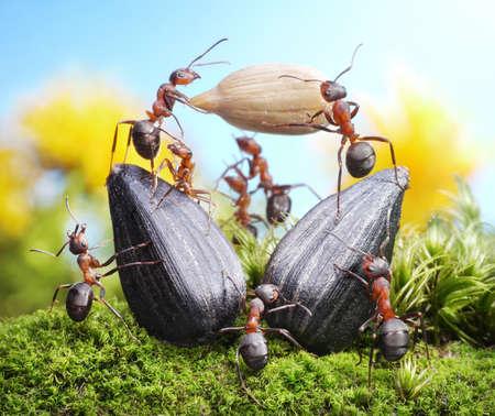 QUipe de fourmis de récolte des cultures de tournesol, de l'agriculture le travail d'équipe Banque d'images - 12035622