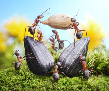 working animal: team of ants harvesting sunflower crops, agriculture teamwork