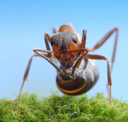 soldier ant formica rufa ready to shoot with acid photo