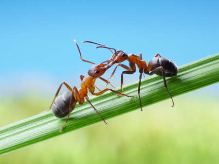 ants formica rufa, greetings with jaws