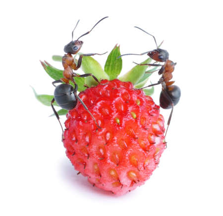 two ants and strawberry
