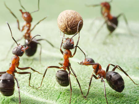 team of ants plays football with pepper seed Standard-Bild