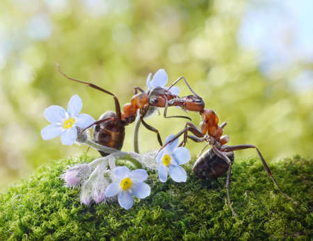 ants formica rufa kissing in flowers, actually feeding
