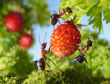 working animal: team of ants gathering strawberry, agriculture teamwork Stock Photo