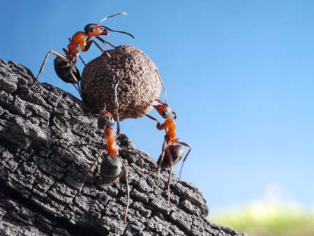 hard work: team of ants rolls stone uphill, teamwork concept