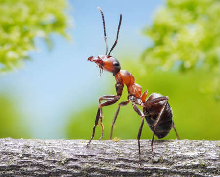 ant: portrait of graceful ant formica rufa on branch