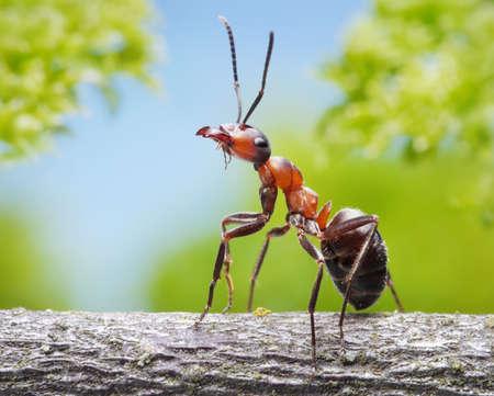 ant: retrato de hormiga formica rufa agraciado en la rama