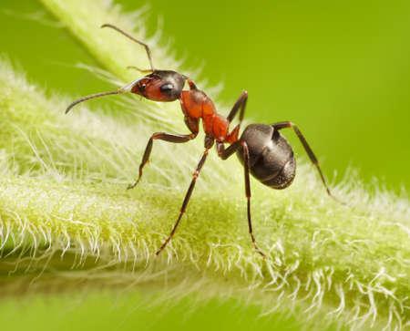 mrówka Formica rufa na zielonej trawie