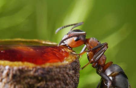 feeding ant with syrup Standard-Bild