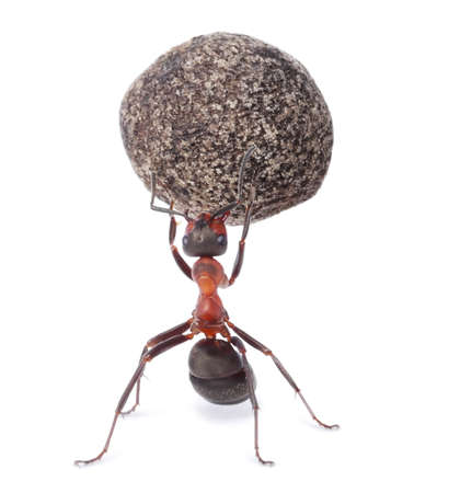 mighty ant holding heavy stone Stock Photo